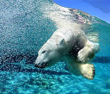Sukelduv jääkaru